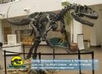 Paleontology museum dinosaur fossil Allosaurus DWS023